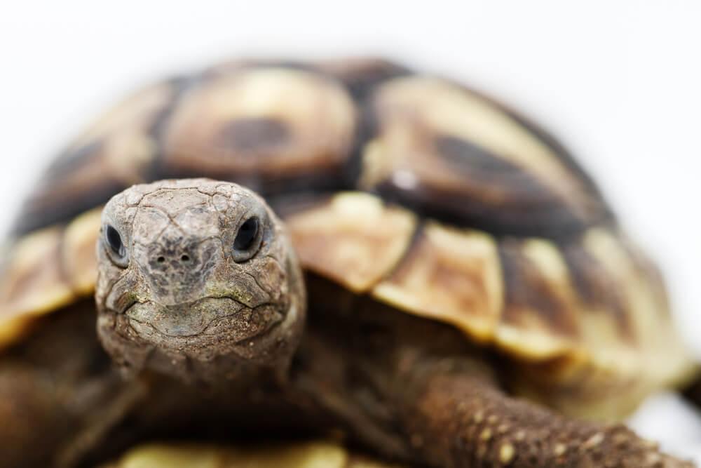 cabeza de tortuga mora o griega de cerca