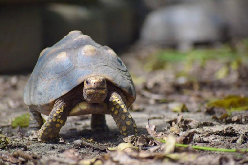 tortuga morrocoy andando sobre tierra