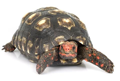 tortuga morrocoy vista de frente