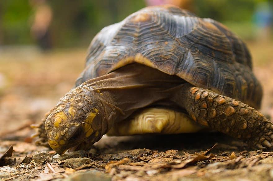 tortuga morrocoy comiendo con manchas amarillas
