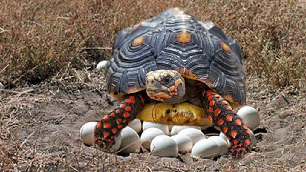 Tortuga de paras rojas poniendo huevos