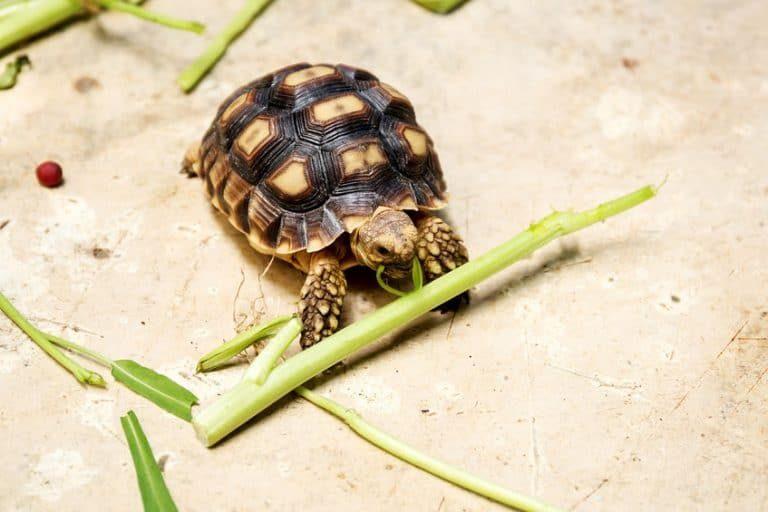 tortuga rusa comiendo