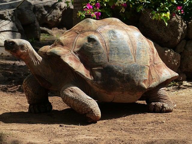 cabeza de tortuga sulcata