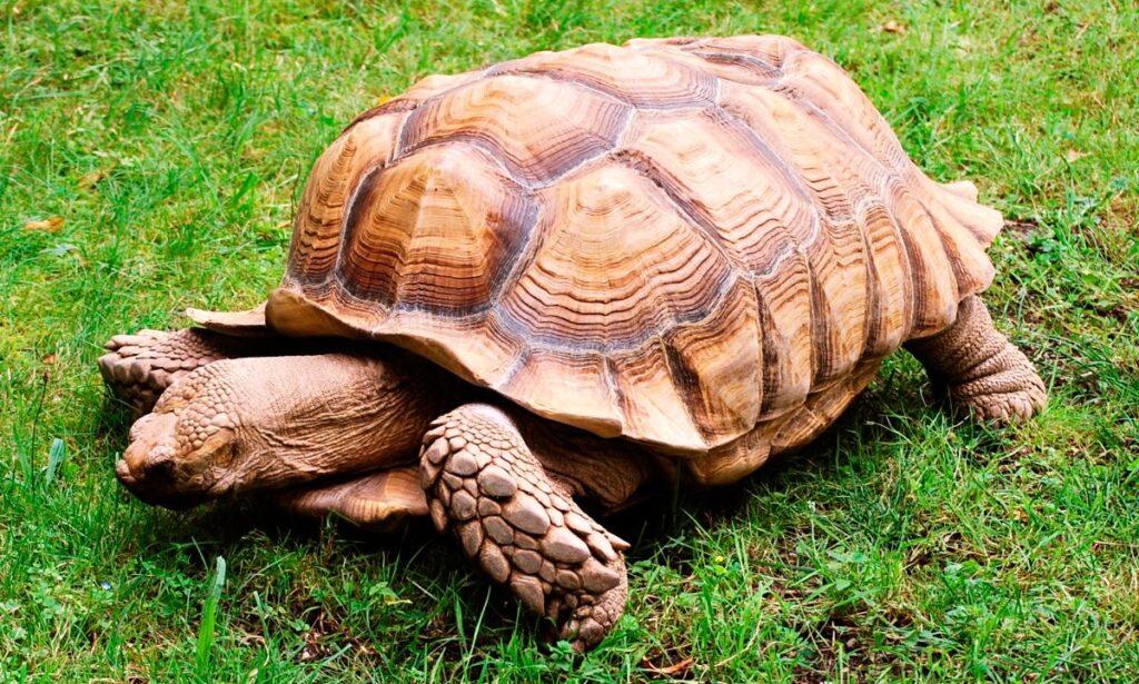 tortuga sulcata