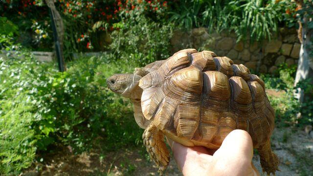 tortuga sulcata pequeña en manos de una persona