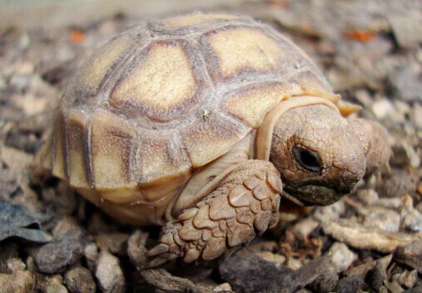 tortuga sulcata bebe