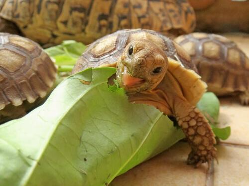 tortuga sulcata pequeña comiendo