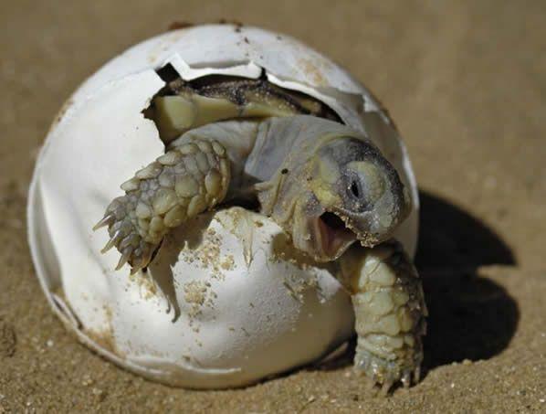 tortuga tierra pequeña