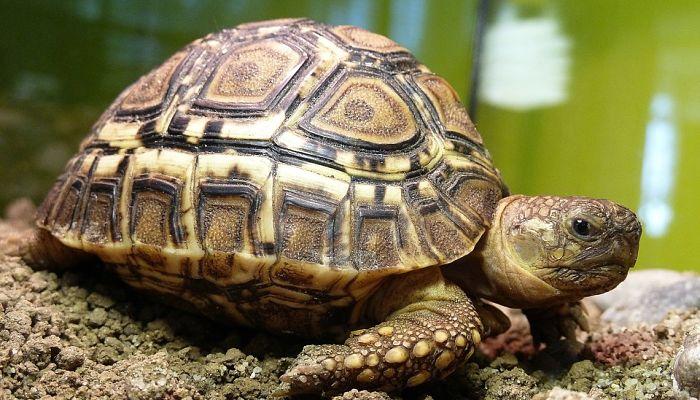 tortuga tierra