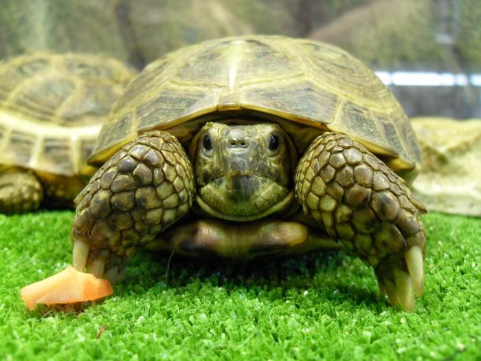 tortuga rusa vista de frente