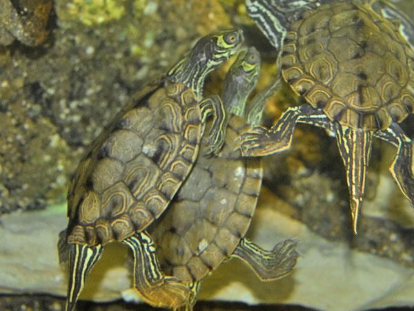 tortugas Graptemys barbouri juntas