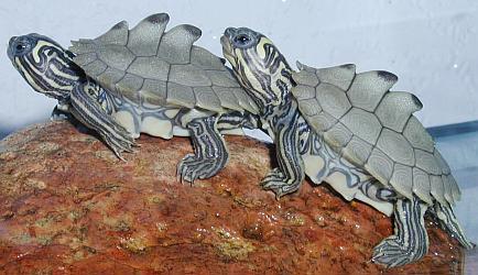 tortugas mapa de barbour juntas