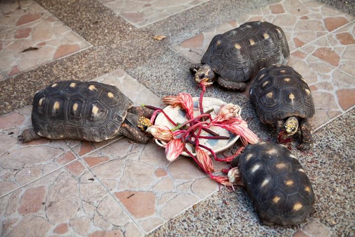 tortugas morrocoy comiendo