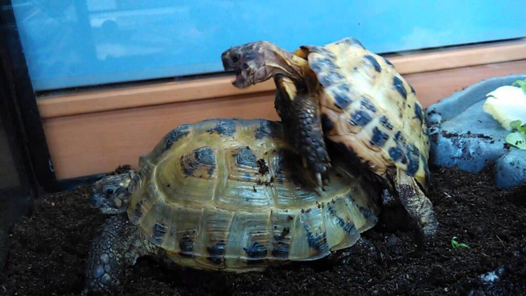 tortugas rusas apareandose