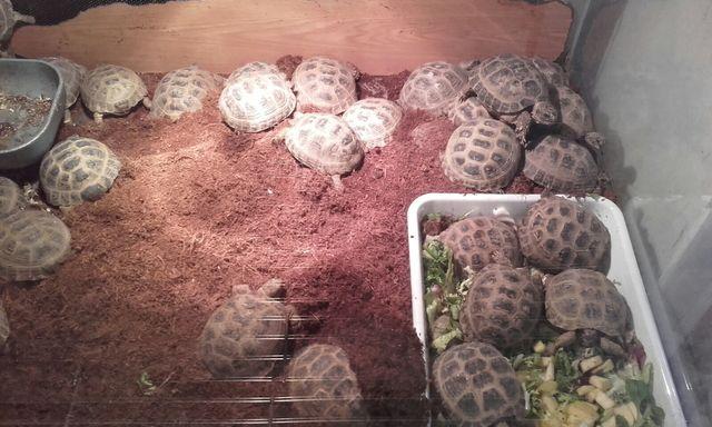 tortugas rusas criadas en cautividad
