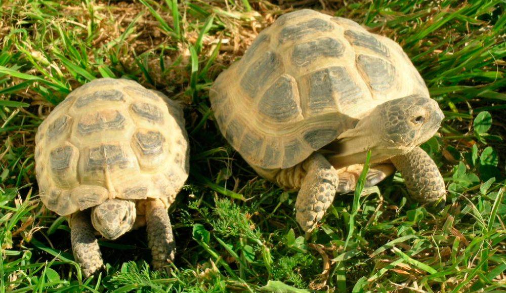 tortugas rusas juntas