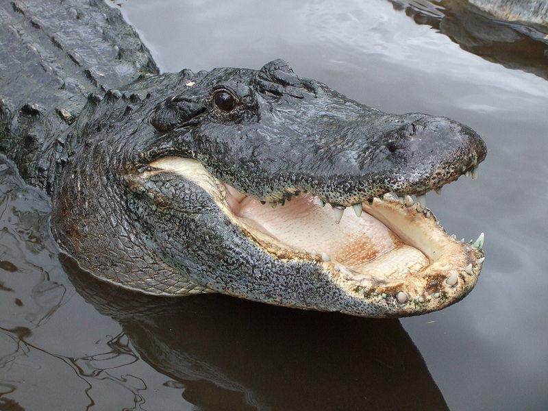 familia Alligatoridae