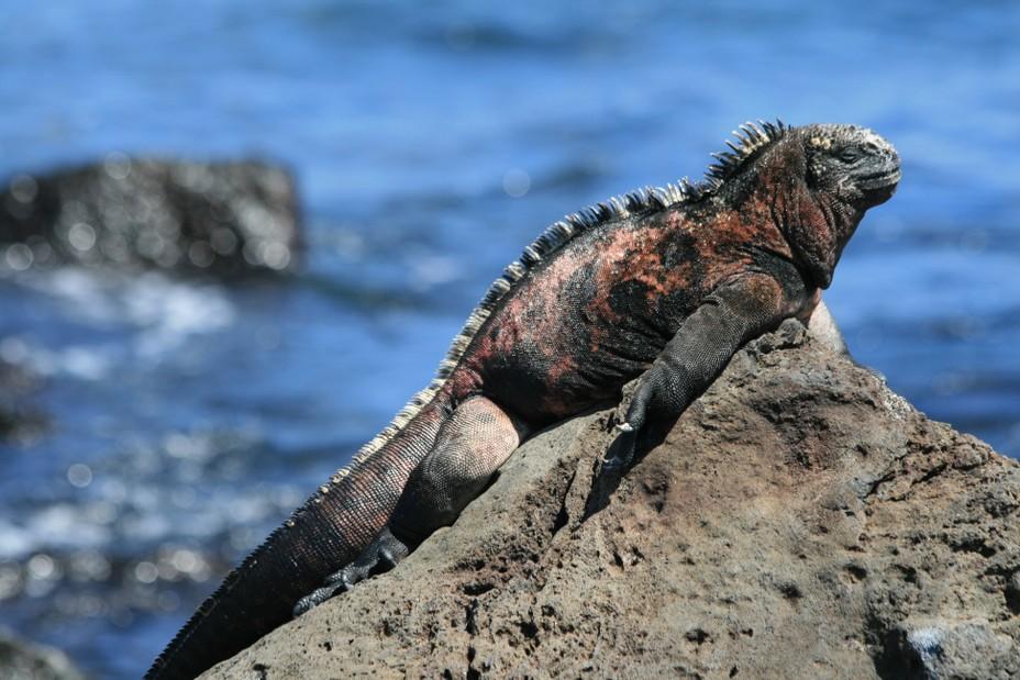 iguana Amblyrhynchus