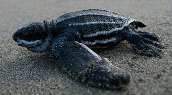 cría de tortuga laud en la playa