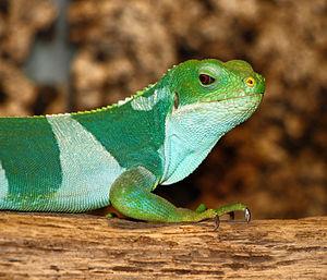 iguana Brachylophus