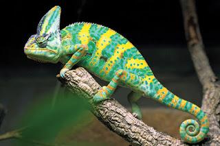camaleon calyptratus o camaleon velado