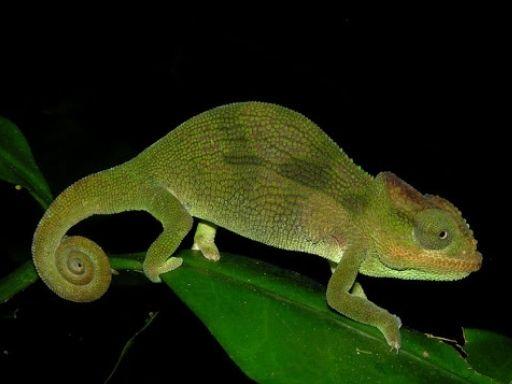 Camaleón Nadzikambia mlanjensis