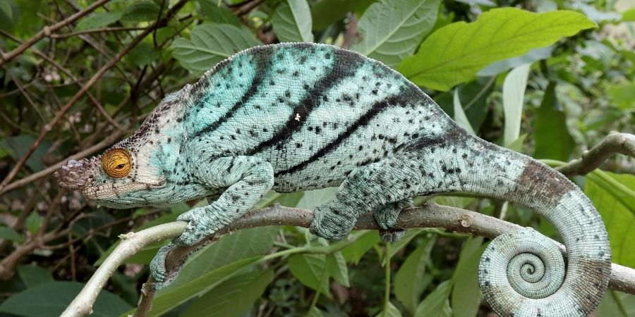 Camaleon calumma parsonii