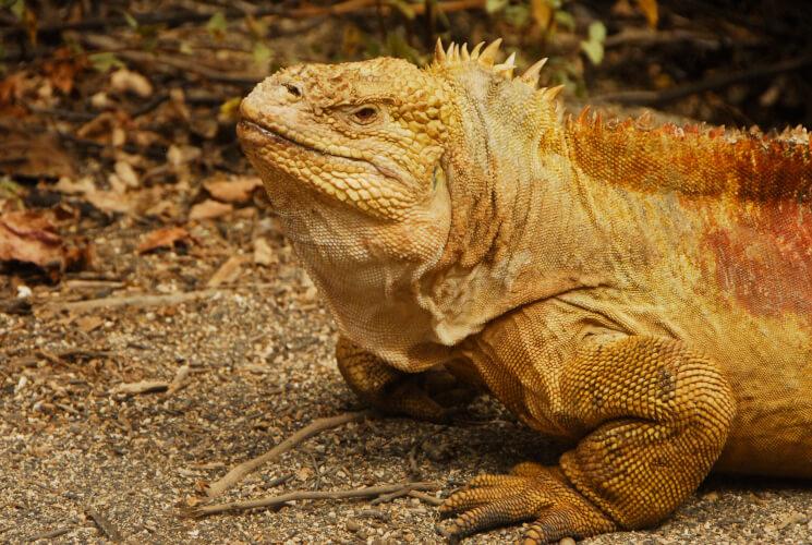 iguana Conolophus