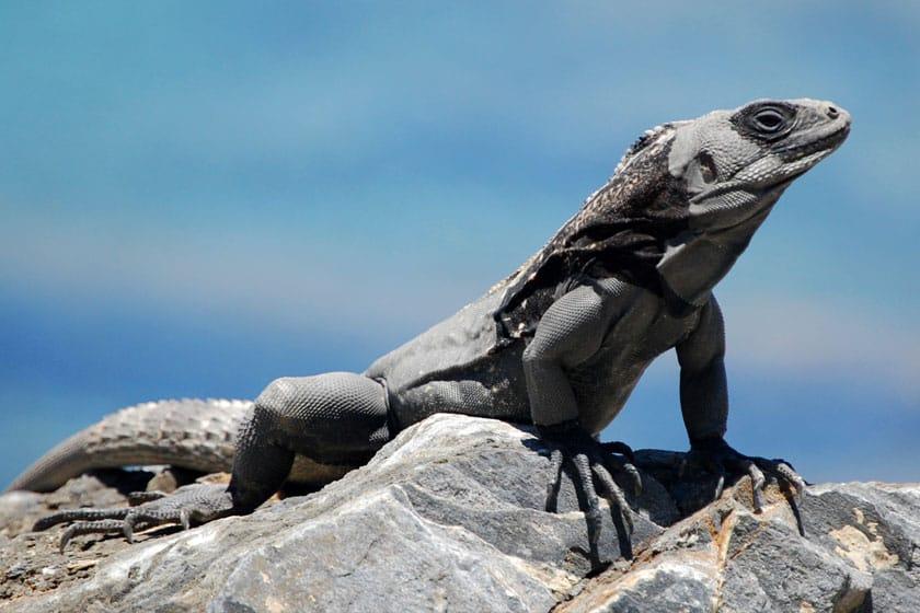 iguana Ctenosaura