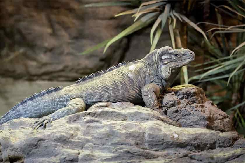 iguana Cyrclura