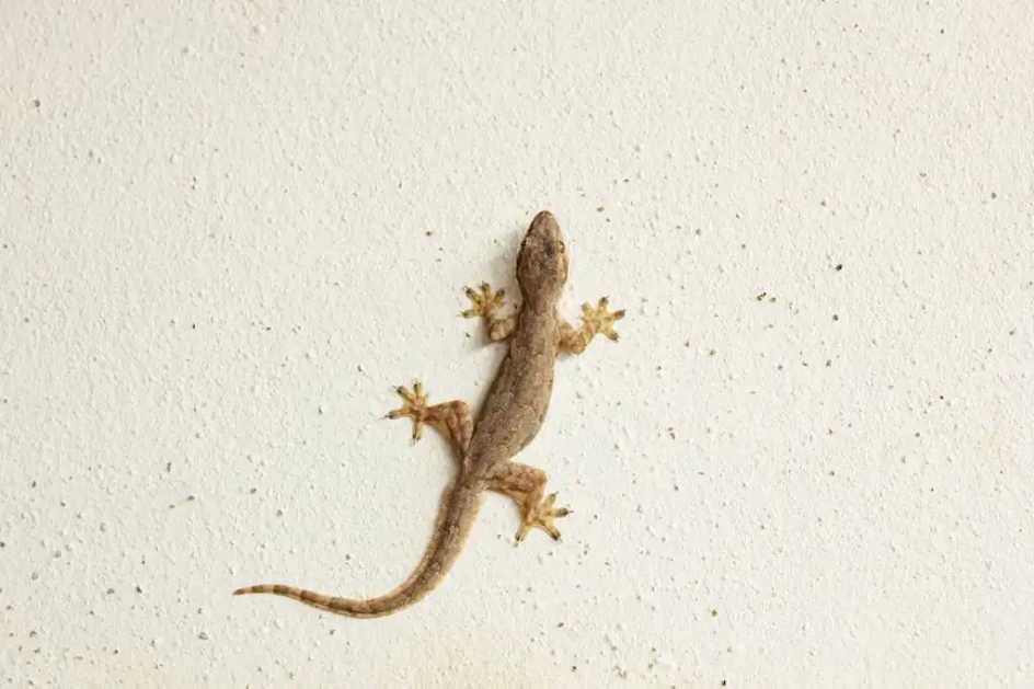 Gecko casero común