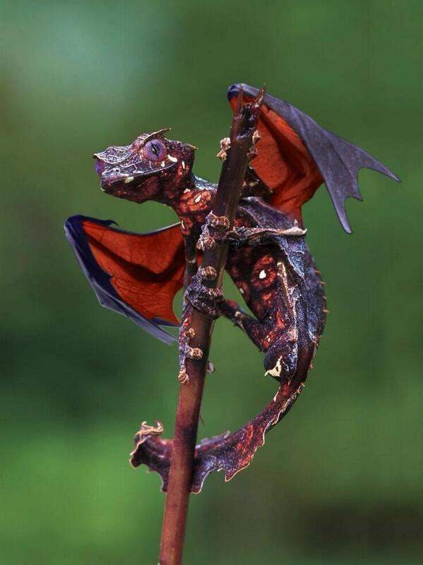 Gecko cola de hoja satánico