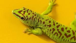 Gecko diurno de Madagascar