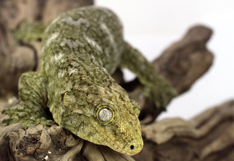 Gecko gigante de nueva caledonia
