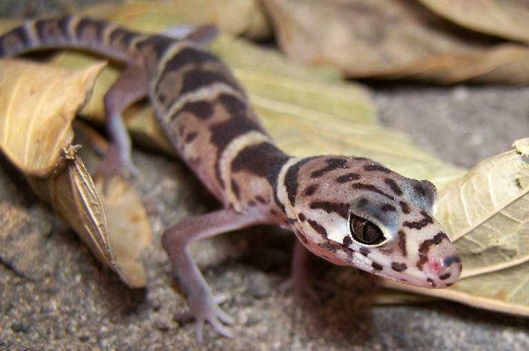 Gecko rayado