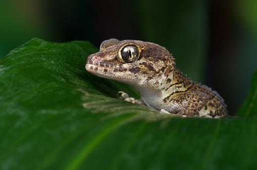 Gecko terrestre de Madagascar