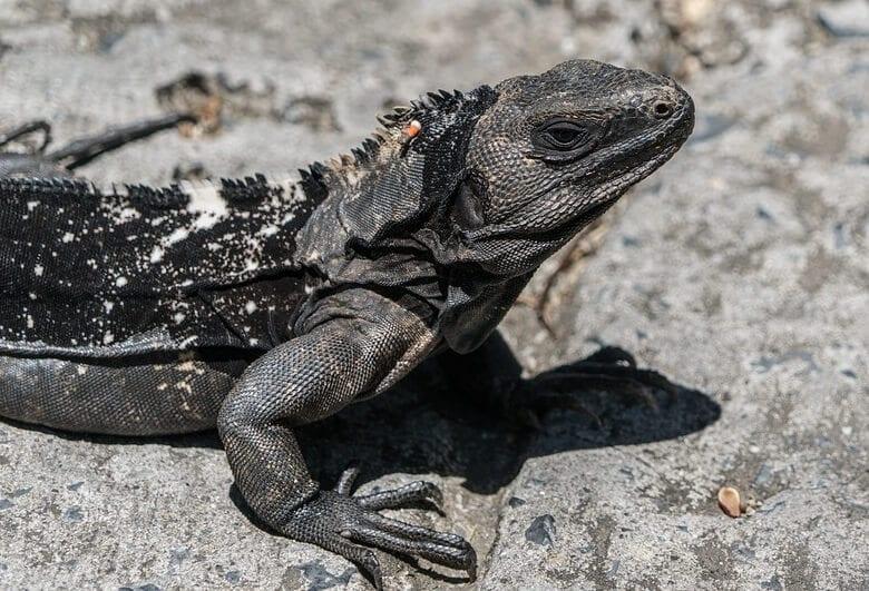 Iguana de cola negra espinosa