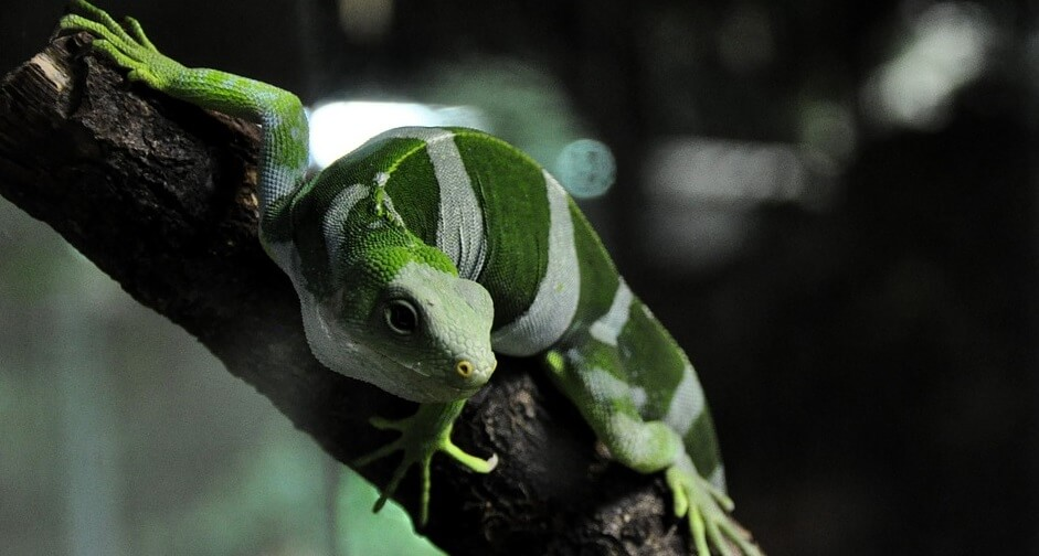 Iguana de fiji