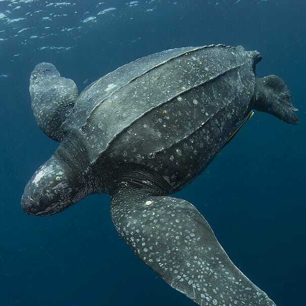 tortuga laud en el mar