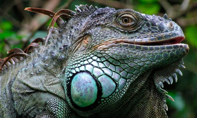 cabeza de iguana verde