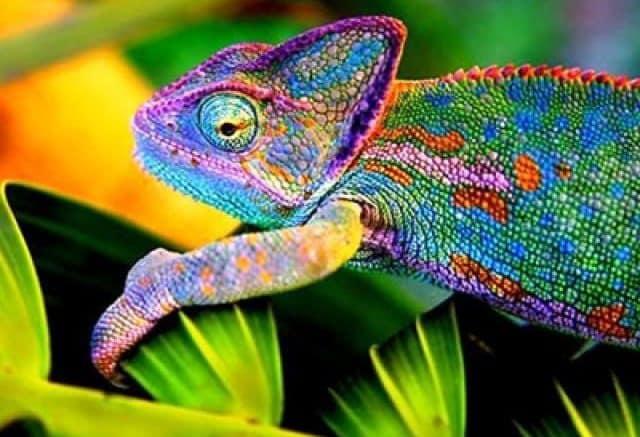 camaleon multicolor