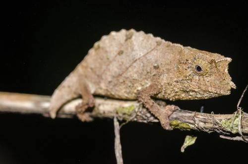 camaleón Rhampholeon chapmanorum