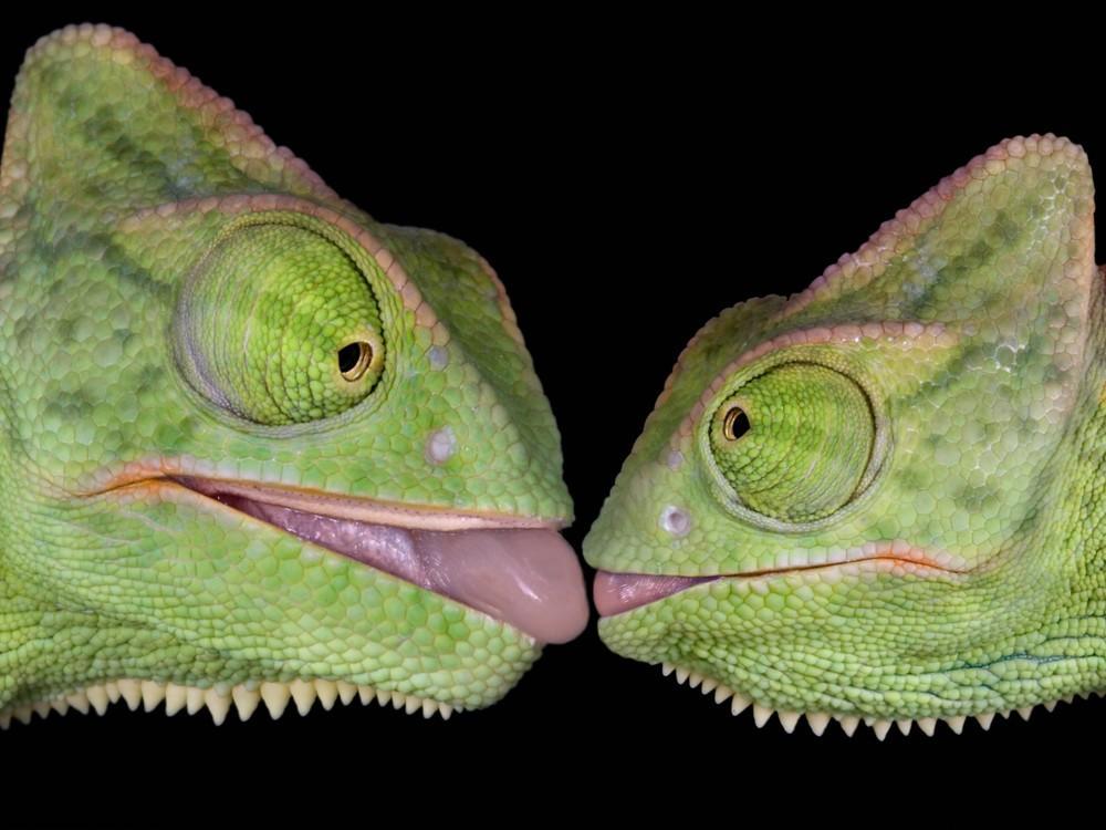 camaleones besandose