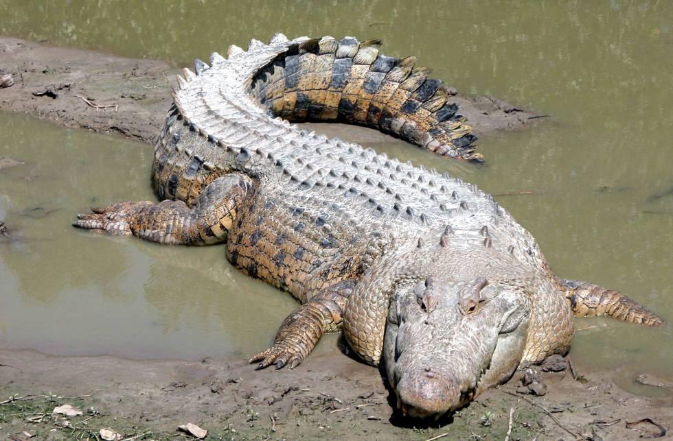 cocodrilo saliendo del agua