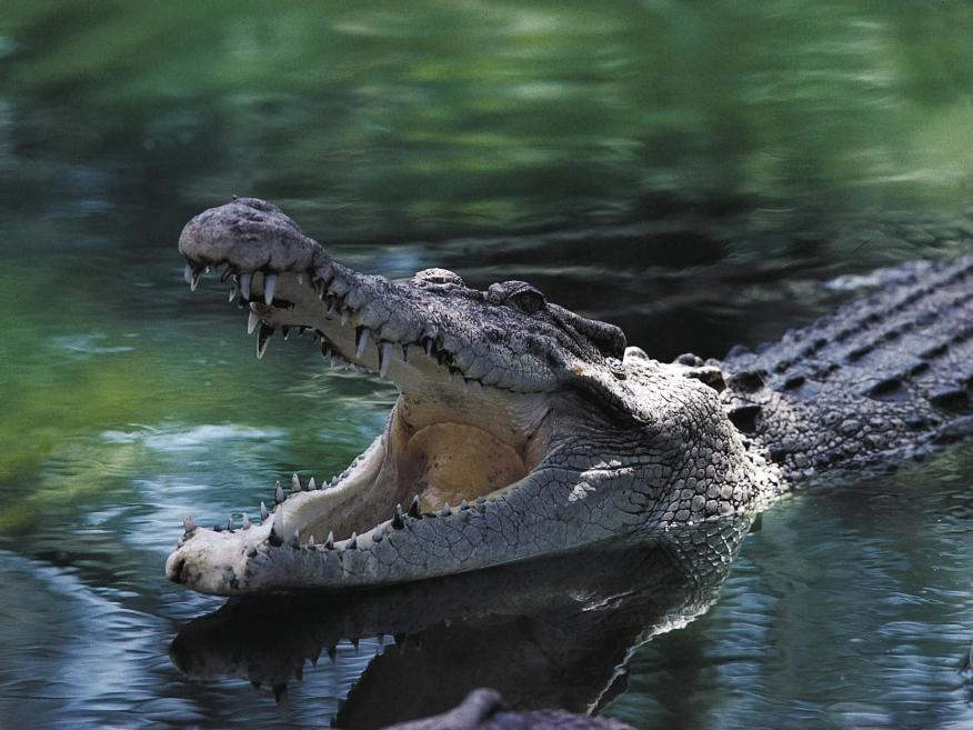 cocodrilo abriendo la boca dentro del agua