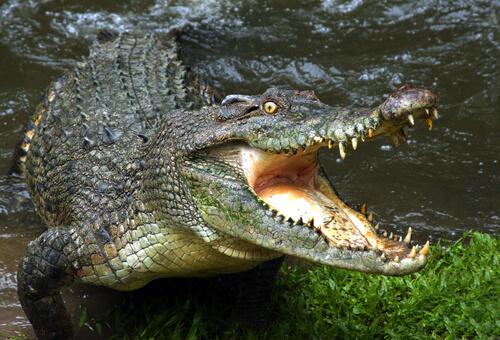 cocodrilo abriendo la boca saliendo del agua