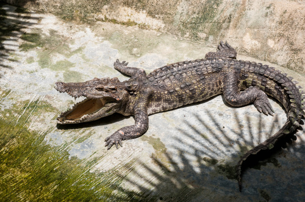 cocodrilo-toma-sol-tierra