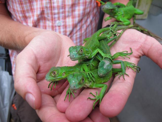 crías de iguana verde