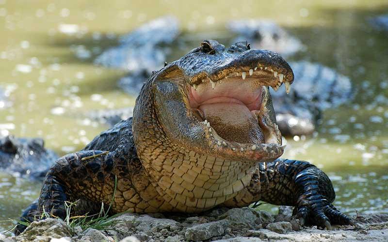 orden crocodylidae cocodrilo