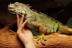 cuidados iguana verde
